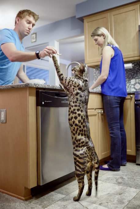 Tallest domestic cat