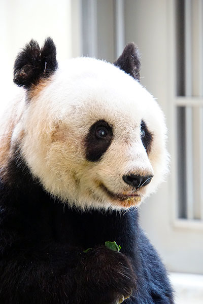 oldest-panda-ever-in-captivity-close-up